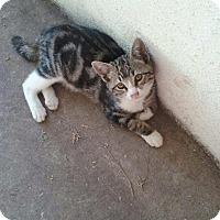 Adopt A Pet :: Rozetta - Alamo, CA