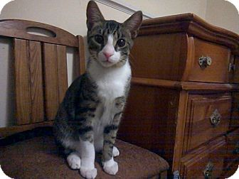 Domestic Shorthair Kitten for adoption in Raleigh, North Carolina - TITO