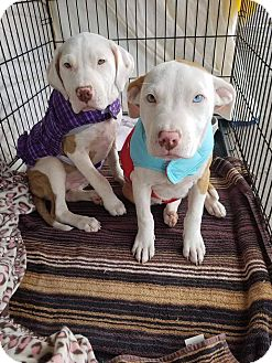 Pit Bull Terrier/Labrador Retriever Mix Puppy for adoption in Las Vegas, Nevada - Spice