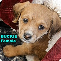 Adopt A Pet :: Buckie - Walnut Creek, CA
