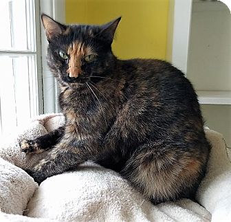 Domestic Shorthair Cat for adoption in Fairfax, Virginia - Georgette