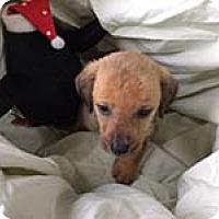 Adopt A Pet :: Donna's pup Daisy - Chantilly, VA