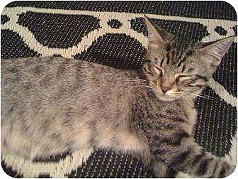 Domestic Shorthair Cat for adoption in Tomball, Texas - Pixie
