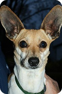 Chihuahua Mix Dog for adoption in Rockaway, New Jersey - Tink