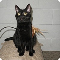 Domestic Shorthair Cat for adoption in Watkinsville, Georgia - Nigel