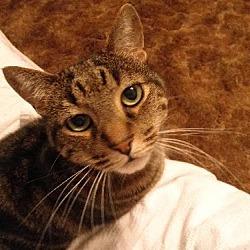 Photo 1 - Domestic Shorthair Cat for adoption in Watkinsville, Georgia - Mo
