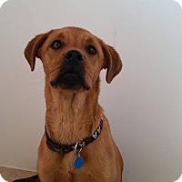 Adopt A Pet :: Terrell - Westminster, CO