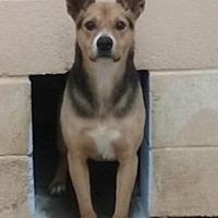 Australian Kelpie/Labrador Retriever Mix Dog for adoption in Odessa, Texas - Waylon