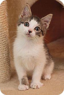 Domestic Shorthair Kitten for adoption in Elkhorn, Wisconsin - Dosi