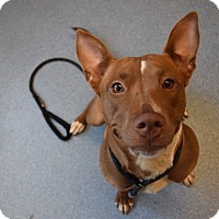 Adopt A Pet :: Juliet - Bay Shore, NY