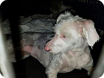 Australian Shepherd/Poodle (Miniature) Mix Dog for adoption in Santa Ana, California - Pepper - (RC)