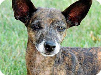 Italian Greyhound/Miniature Pinscher Mix Dog for adoption in Washington, D.C. - GIGI