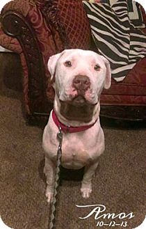 American Pit Bull Terrier Dog for adoption in Des Moines, Iowa - Amos