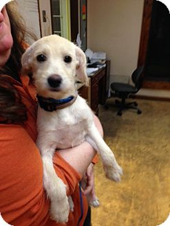 Terrier (Unknown Type, Medium) Mix Puppy for adoption in Mt. Laurel, New Jersey - Cottonshine