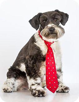 Standard Schnauzer Dog for adoption in Phelan, California - Dexter