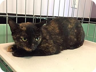 Domestic Shorthair Cat for adoption in Monroe, New Jersey - Cookie *URGENT*