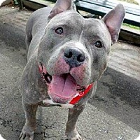 Adopt A Pet :: Bambino - New York, NY