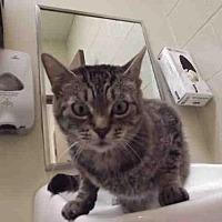 Adopt A Pet :: BELLAMY - Rogers, AR