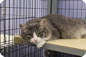 Maine Coon Cat for adoption in Flemington, New Jersey - Cody