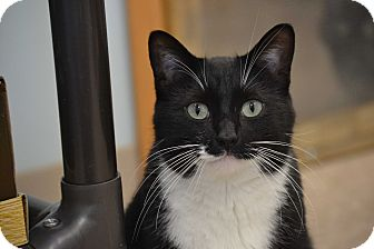 Domestic Shorthair Cat for adoption in Byron Center, Michigan - Ghost