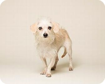 Maltese/Terrier (Unknown Type, Medium) Mix Dog for adoption in Pt. Richmond, California - DUTCHESS