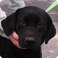 Adopt A Pet :: Midnight - Beebe, AR