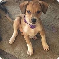 Adopt A Pet :: Aphrodite - Houston, TX