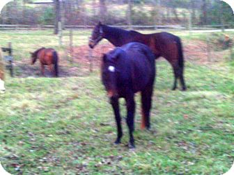 Thoroughbred for adoption in Old Fort, North Carolina - Bella