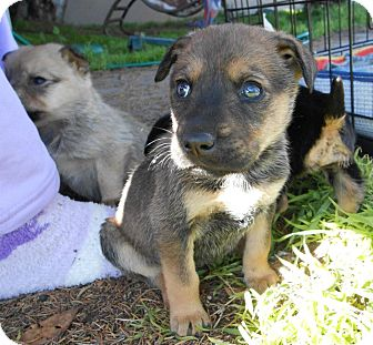 German Shepherd Dog/Labrador Retriever Mix Puppy for adoption in Torrance, California - TANYA