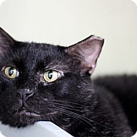 Adopt A Pet :: Koopa - Chicago, IL
