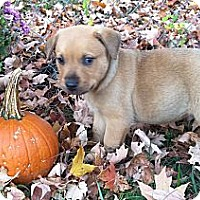 Adopt A Pet :: Tripp - Chattanooga, TN