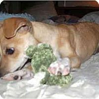 Adopt A Pet :: PJ - Scottsdale, AZ