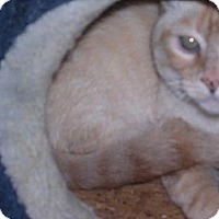 Siamese Cat for adoption in Sherman Oaks, California - Magoo - sponsor only