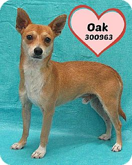 Chihuahua Dog for adoption in San Antonio, Texas - A300963 Oak