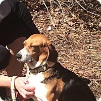 Beagle Mix Dog for adoption in Midlothian, Virginia - Beagle Mix - Cedar aka Mama