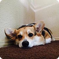 Adopt A Pet :: Ozzie - Lomita, CA