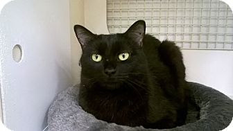 Domestic Shorthair Cat for adoption in Warren, Michigan - Jelly Bean