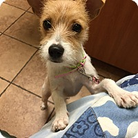 Adopt A Pet :: Dandelion in Houston PENDING - Austin, TX