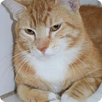 Adopt A Pet :: Gingy - Bradenton, FL