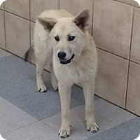 Adopt A Pet :: KODI - Apache Junction, AZ