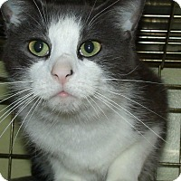 Domestic Shorthair Cat for adoption in Acme, Pennsylvania - WESLEY