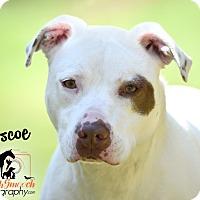 Adopt A Pet :: Boscoe - Broadway, NJ