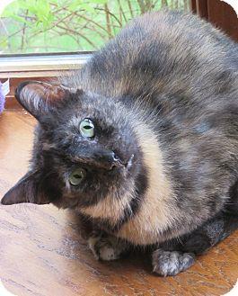 Domestic Shorthair Cat for adoption in Roseville, Minnesota - Whitney