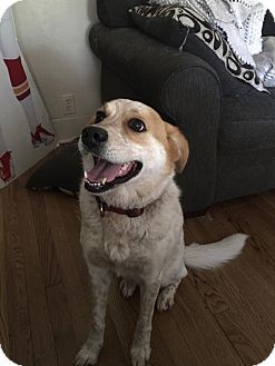 Cattle Dog Mix Dog for adoption in Overland Park, Kansas - Jada