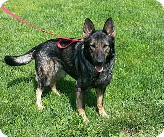 German Shepherd Dog Mix Dog for adoption in Bridgewater, New Jersey - Mercedes