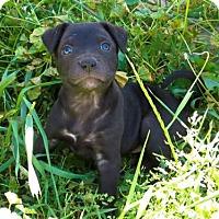 Adopt A Pet :: Uhura - APPLICATIONS CLOSED - Livonia, MI