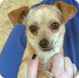 Chihuahua Mix Puppy for adoption in Palmdale, California - Jedi