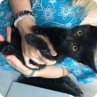 Domestic Shorthair Kitten for adoption in North Wilkesboro, North Carolina - Basil