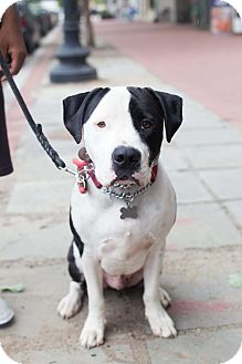 Bulldog Mix Dog for adoption in Washington, D.C. - Patch - WELL TRAINED!