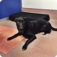 Labrador Retriever Mix Dog for adoption in Denver, Colorado - Bentley